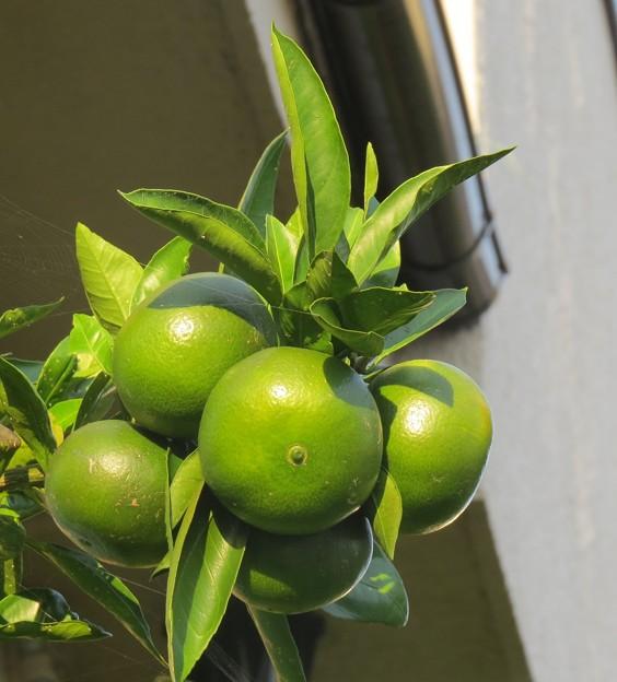 Photos: 今年の収穫が待ち遠しい