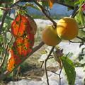 Photos: 色づいてきた柿、食べ時はいつかな
