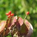 Photos: 赤い実