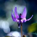 Photos: カタクリの花