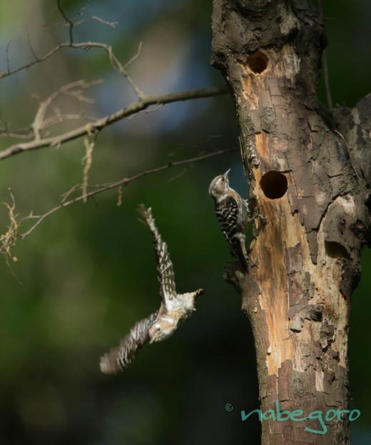 コゲラの巣作り