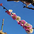 Photos: 紅白交互の梅の花