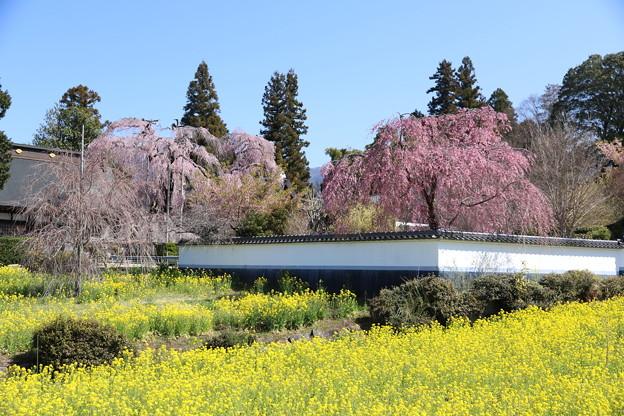 春爛漫!甲府盆地