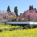 Photos: 春爛漫!甲府盆地