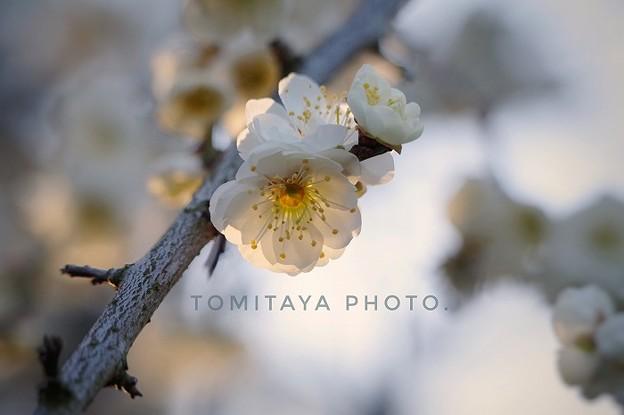 Photos: 生出塚の梅