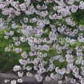 小川の桜と緑