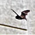 Photos: 真昼の蝙蝠