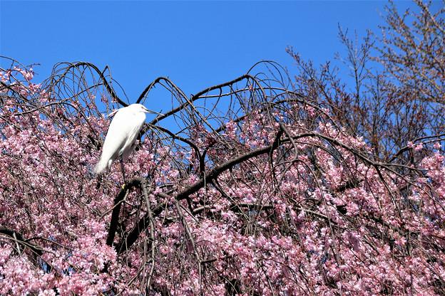 枝垂れ桜にコサギがやって来た
