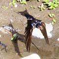 Photos: 巣材を運ぶツバメ