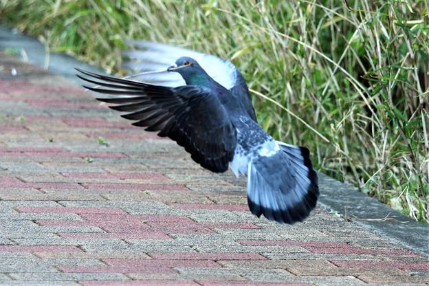 巣材を運ぶ鳩