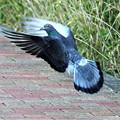 Photos: 巣材を運ぶ鳩