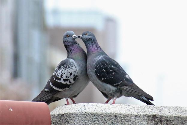 愛の姿、鳩編