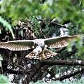Photos: 雛に餌を咥えて飛んできた。