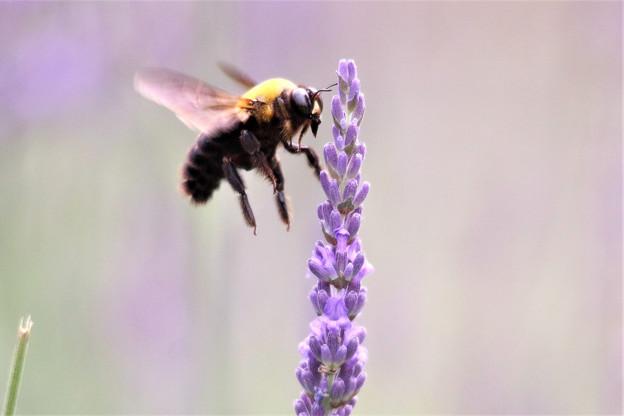 ブンブンブンブン、蜂が飛ぶ&ラベンダー