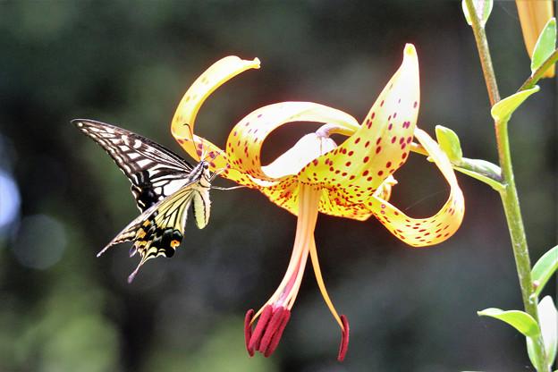 オニユリとキアゲハチョウ