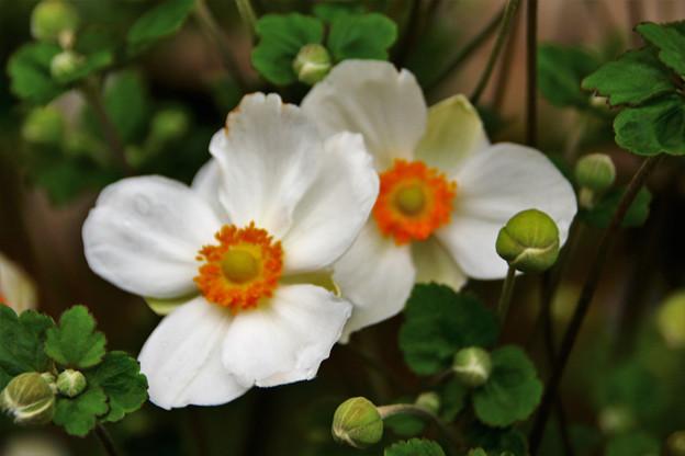 秋明菊(白)