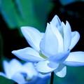 Photos: *蓮の花*