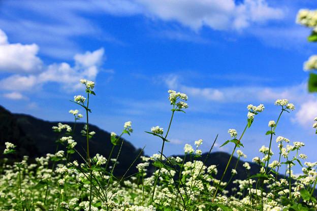 *蕎麦の花*