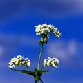 Photos: *蕎麦の花*