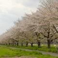嵐山の桜並木-2279