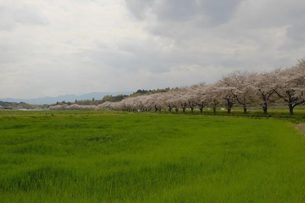 嵐山の桜並木-2280