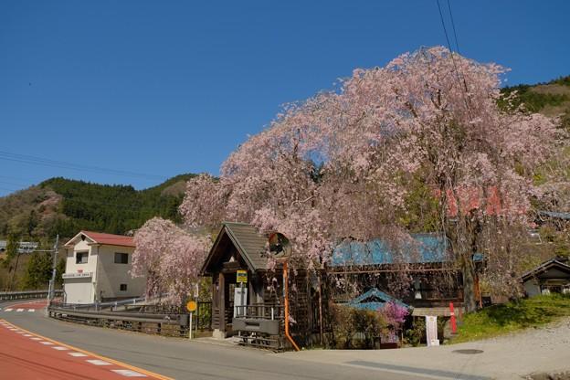 人里(へんぼり)のしだれ桜-2298