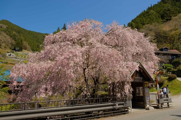 人里(へんぼり)のしだれ桜-2304