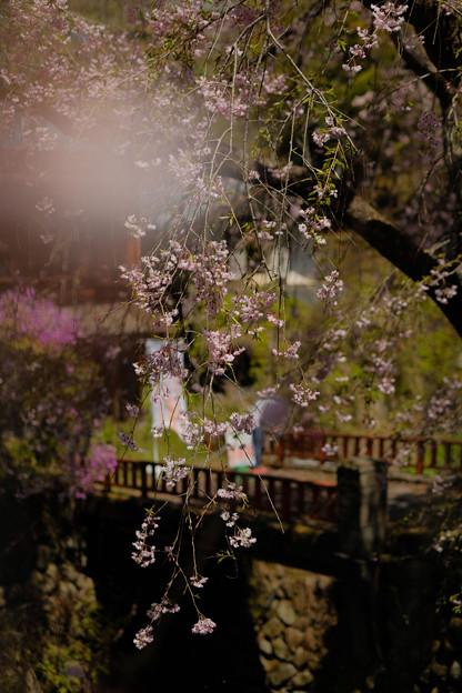 人里(へんぼり)のしだれ桜-2316