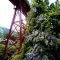 Photos: 鉄橋と藤_-2197
