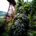 鉄橋と藤-2197