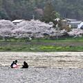 Photos: 山口県岩国市の錦帯橋へ。。河川敷の桜