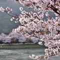 岩国の錦帯橋。。初めて見る錦帯橋の桜