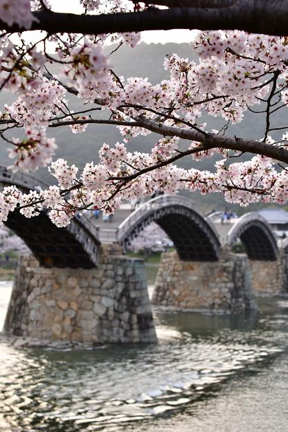 錦帯橋と満開桜。。