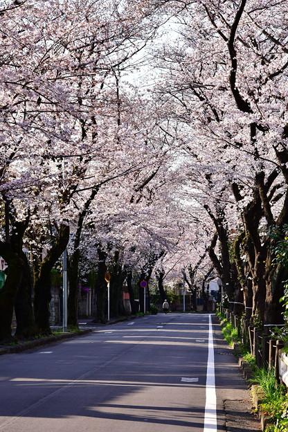 引地川沿いの桜のトンネル。。