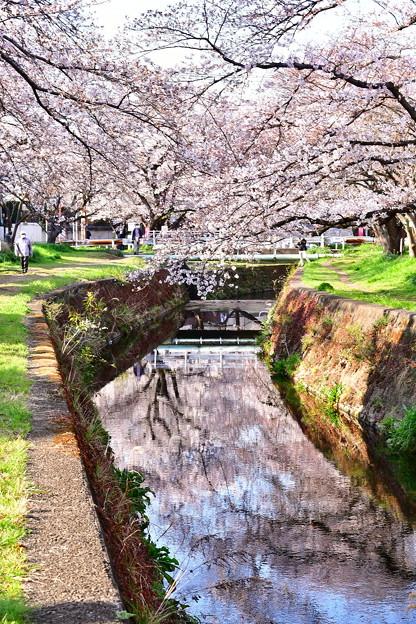 引地川の桜。。水面に桜映る