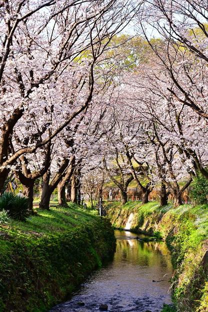 地元で有名な引地川の桜並木