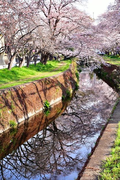 引地川の水面に写る桜。。