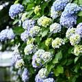 都会の紫陽花。。王子エリア