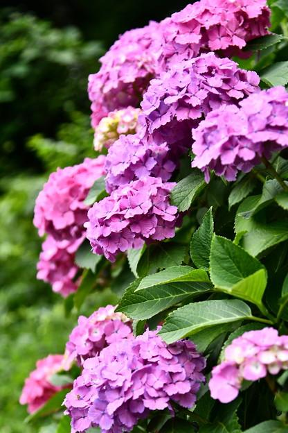 飛鳥山公園沿い咲く紫陽花。。