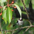 エナガ幼鳥0515 (2)