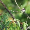 エナガ幼鳥0515 (1)
