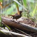 コマドリ幼鳥0731