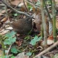 ミソサザイ幼鳥0731 (4)