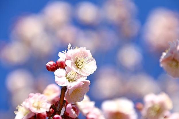 Photos: 薄桃色