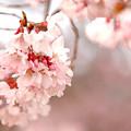Photos: 小彼岸桜