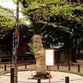 葉桜に移る標本木