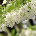 雨に「ナンジャモンジャの花」