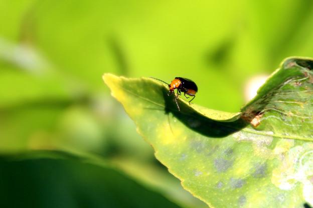 緑にハムシ