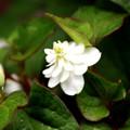 八重咲のドクダミ