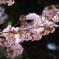 Photos: 山桜一枝